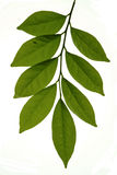 tropikalny liści, Zdjęcia Stock