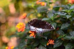 Tropikalny motyl Bai motyla i orchidei gospodarstwo rolne Mae obręcz Chiang Mai prowincja Tajlandia Fotografia Stock