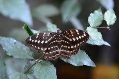 Tropikalny motyl Bai motyla i orchidei gospodarstwo rolne Mae obręcz Chiang Mai prowincja Tajlandia Obraz Stock
