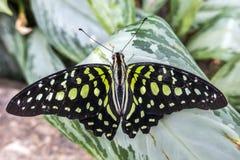 Tropikalny motyl - Zielony Jay, Graphium agamemnon - Zdjęcie Stock