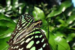 Tropikalny motyl - Zielony Jay, Graphium agamemnon - Obrazy Stock