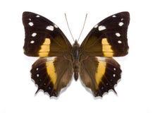 Tropikalny motyli Baeotus deucalion Zdjęcia Stock