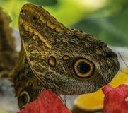 Tropikalny Motyli Biesiadować Z arbuza Obrazy Stock