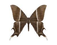 Tropikalny motyli inkasowy Lyssa zampa Obraz Royalty Free