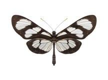 Tropikalny motyli inkasowy Methona themisto Obrazy Stock