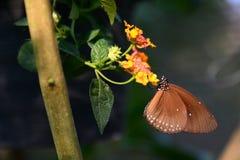 Tropikalny motyli karmienie Bai motyla i orchidei gospodarstwo rolne Mae obręcz Chiang Mai prowincja Tajlandia Zdjęcie Royalty Free