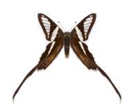 Tropikalny motyli Lamproptera curius Fotografia Royalty Free