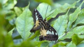 Tropikalny motyli obsiadanie na liściu w słońcu zdjęcia royalty free
