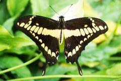 Tropikalny motyli odpoczywać Fotografia Royalty Free