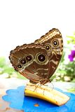 Tropikalny motyli odpoczywać Obrazy Stock