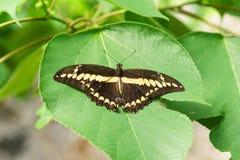 Tropikalny motyli Papilio Thoas na zielonym liściu czupirzy Fotografia Stock
