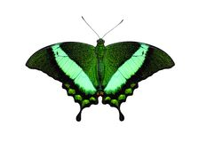 Tropikalny motyli Szmaragdowy Swallowtail lub skrzyknący paw, Papilio palinurus obraz royalty free