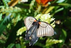 Tropikalny motyli Wielki mormonu Papilio memnon obsiadanie na gr Obraz Stock