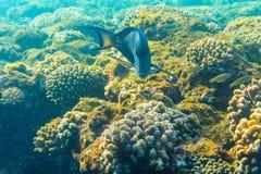 Tropikalny oceanu życie Rafa koralowa pełno rybi unosić się pod wody powierzchnią Sunbeams światło przez czochr Fotografia Royalty Free