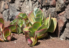 Tropikalny ogród w oaza parku na Fuerteventura Wyspa Kanaryjska Obrazy Royalty Free