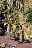 Tropikalny ogród w oaza parku na Fuerteventura Wyspa Kanaryjska Fotografia Stock