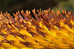 Tropikalny piękny kwiatu Kniphofia zbliżenie Obrazy Stock