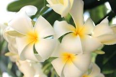 Tropikalny plumeria kwiat Obrazy Royalty Free