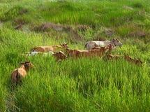 Tropikalny pole z azjatykcią bloodline krową Fotografia Stock