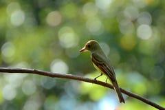 tropikalny ptasi królewiątko Obraz Stock