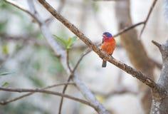 Tropikalny ptasi zakończenie Obrazy Stock