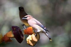 Tropikalny ptasi zakończenie Zdjęcie Stock