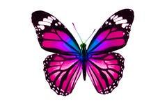 Tropikalny purpurowy motyl pojedynczy białe tło zdjęcia royalty free