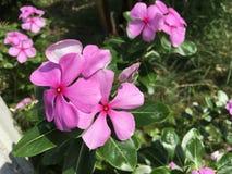 Tropikalny purpurowy Zachodni Indiański barwinka kwiatu Catharanthus roseus L fotografia royalty free
