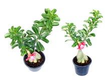 Tropikalny różowy adenium pustyni róży kwiat na odosobnionym białym tle Zdjęcia Stock