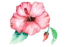 Tropikalny różowy hibicus kwiat Zdjęcia Royalty Free