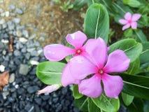 tropikalny różowy kwiat Obrazy Stock