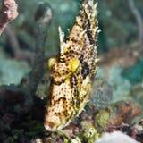Tropikalny rybi Filefish Zdjęcie Royalty Free