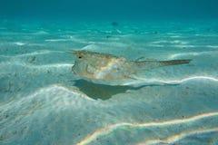 Tropikalny rybi longhornu cowfish Lactoria cornuta Fotografia Stock