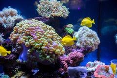 Tropikalny rybi motyl i korale Zdjęcie Stock