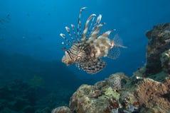 tropikalny rybi orante Obrazy Royalty Free
