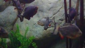 Tropikalny rybi pływanie w wodzie morskiej zdjęcie wideo