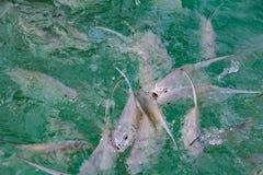 Tropikalny rybiego karmienia szaleństwo w morzu karaibskim z wybrzeża obraz royalty free