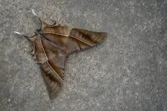 Tropikalny Swallowtail ćma Obrazy Royalty Free