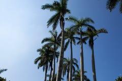 Tropikalny tło z niebieskiego nieba i królowej drzewkami palmowymi zdjęcie royalty free