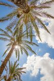 Tropikalny tło drzewka palmowe nad niebieskim niebem Obraz Stock