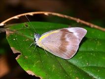 Tropikalny tropikalnego lasu deszczowego motyl Queensland Zdjęcia Stock