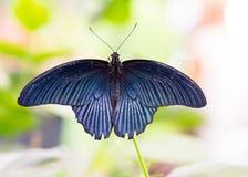 Tropikalny Wielki mormon motyli Papilio Memnon Obraz Royalty Free