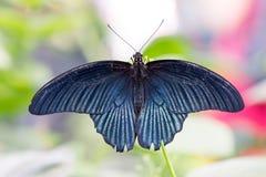 Tropikalny Wielki mormon motyli Papilio Memnon Obraz Stock