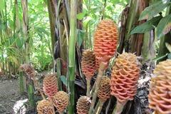 Tropikalny Zingiber Spectabile Zdjęcie Stock
