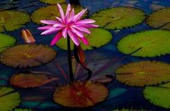 Tropikalnych hybryd menchii wodna leluja w stawie otaczającym zielonymi ochraniaczami zdjęcia royalty free