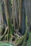 tropikalnych lasów deszczowych drzewa Zdjęcie Stock