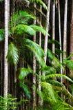 Tropikalnych lasów deszczowych drzewka palmowe Zdjęcie Royalty Free