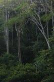 Tropikalnych lasów deszczowych drzewni bagażniki i zieleń liście Zdjęcie Royalty Free