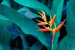 Tropikalnych liści kolorowy kwiat na ciemnego tropikalnego ulistnienie natury tła ulistnienia ciemnozielonej naturze zdjęcie royalty free