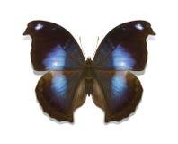 Tropikalnych motyli Napeocles inkasowy jucunda Zdjęcie Stock
